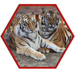 Neil & Karma - Tigers
