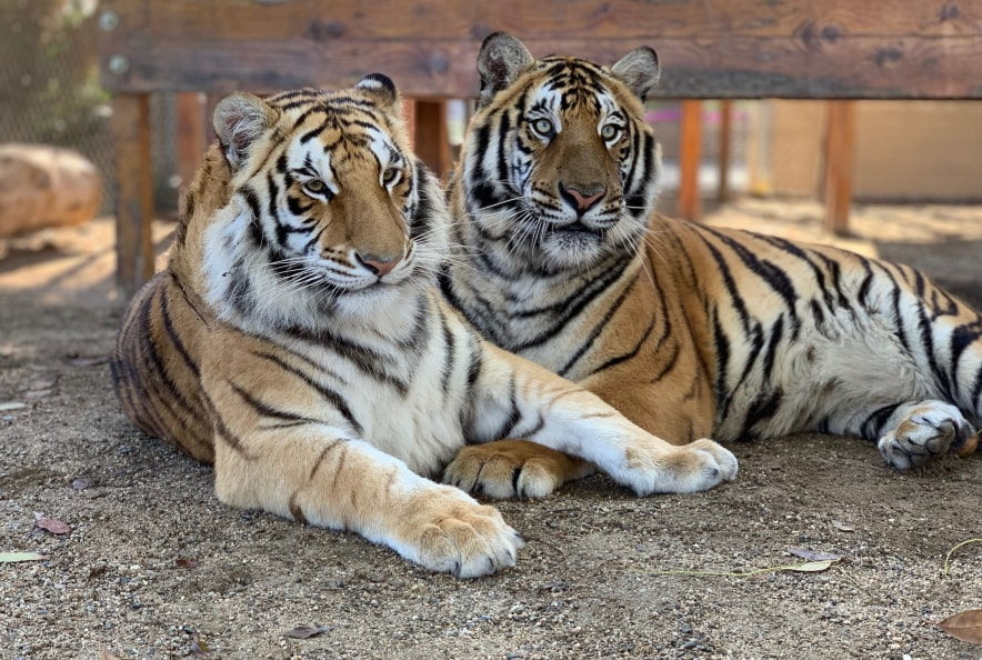 Tiger Splash Retreat
