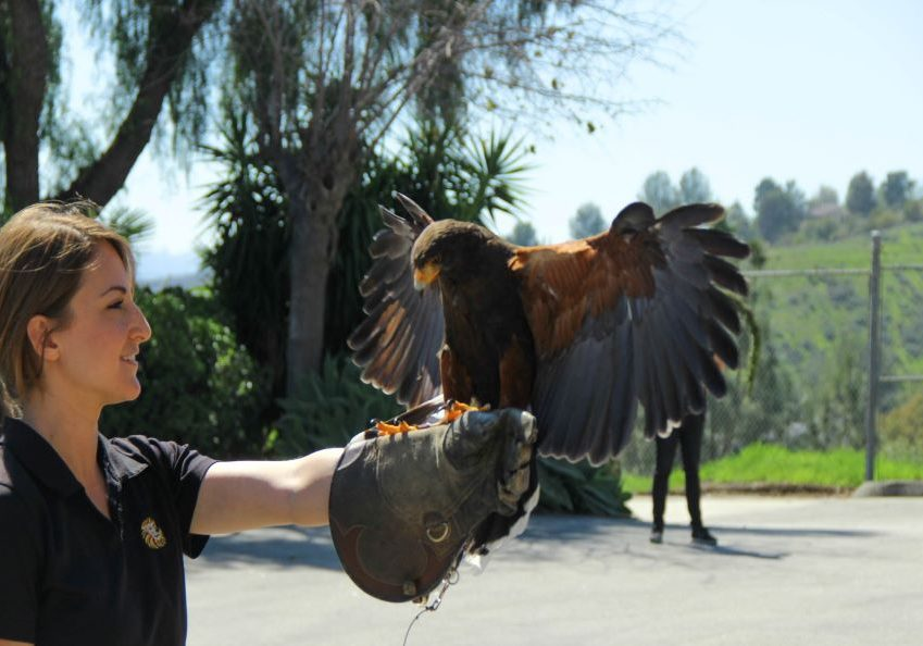 Student with Harris Hawk resized